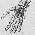 Illustrations de L'Anatomie chirurgicale de Palfin, 1753