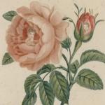 Portraits de Marie-Louise et du Roi de Rome dans une rose et dans un bouton, vers 1815