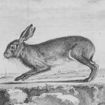 Histoire naturelle générale et particulière avec la description du cabinet du roy, t. VI, 1756