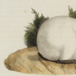 Histoire naturelle des mammifères, t. II, 1819