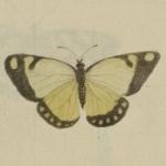 Lecomte, Suite de papillons, 1765