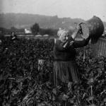 Les vendanges à Argenteuil, 1931